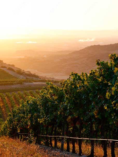 Foto de viñedos en puesta de sol